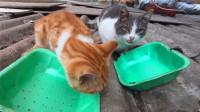 小伙喂养流浪猫,两只猫咪还轮流看哨,太心酸了