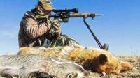 北美大陆郊狼泛滥,农场主聘请猎人捕杀,已经有100多年历史了