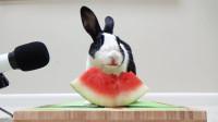 小白兔白又白,爱吃西瓜和瓜皮,不一样的吃播放送