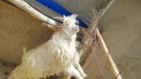丰存杰:宁夏人到甘肃农村上门买羊 开车跑几百公里 他们赚多少钱