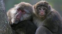 我国最大猕猴,喜欢与人类亲近,为我国保护动物