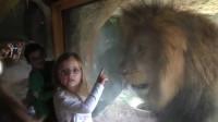 女孩隔着玻璃亲了一下狮子,令人意外的一幕发生,镜头记录全程!