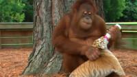 男子将大猩猩放在虎群中,却发生这样一幕,让游客们大跌眼镜