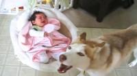 宝宝刚睡着,二哈想要找宝宝玩,德牧上去就是一巴掌:边去不许碰他!
