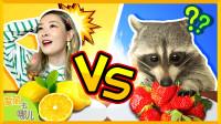 [爱丽去哪儿] 从没有过的挑战!爱丽VS超萌小浣熊的美食福不福比赛 | 爱丽去哪儿