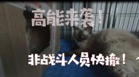 布偶猫和蓝猫能生出什么?小伙熬夜2天 全程记录猫咪生崽的过程