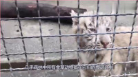 《动物世界》动物园里的老虎,一副生无可恋的表情,很想自由