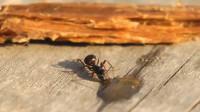 蚂蚁喝了伏特加后会怎样?镜头记录全程,原来酒喝多了这么可怕!