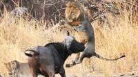 狮子莫名惨遭野牛攻击,直接被顶飞到天上,狮子:我招惹你了?