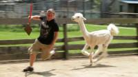 羊驼自从被剪羊毛后,一见主人就跑上去踢打,这倔脾气不敢惹