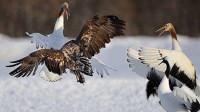 老鹰捕食丹顶鹤,丹顶鹤看到老鹰的袭击,不慌不忙的站着