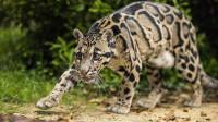 这种动物被确认灭绝36年,却又意外被发现,这是什么情况?