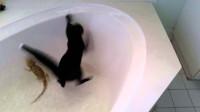 猫咪偷看蜥蜴洗澡,一不下心掉进了浴缸,场面十分滑稽