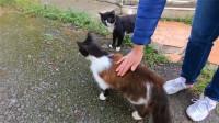 一只大尾巴的流浪猫,看见好心人,左蹭右蹭可高兴了
