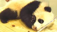大熊猫结浜小时候简直是卖萌小能手,你卖的萌大家感受到了吗?