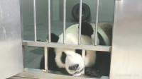 大熊猫金虎不开心,嘤嘤嘤,好委屈!