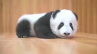 大熊猫繁殖困难是因为便秘?这么好看的小宝贝真的爱了!