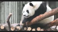 """大熊猫界的""""葛优瘫""""!趴在树杈上抖腿踹粗气,太萌了哈哈!"""