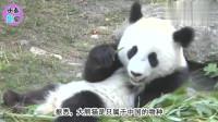 大熊猫挥毫作画,一幅卖3800仍供不应求!实在是太厉害了