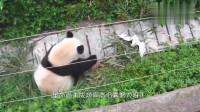 大熊猫的抓鸟之路,越挫越勇,熊猫的反应太逗了