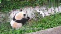 大熊猫的抓鸟之路,越挫越勇,熊孩子的反应太逗了