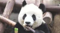 大熊猫:竹子中就这个竹笋好吃