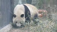 """大熊猫""""欺负""""植物,网友:请不要霍霍小花花,有什么事冲我来!"""