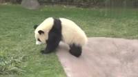大熊猫挡路赖着不走,饲养员只好拖着它换个位置,多重没点数?
