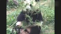 大熊猫大头实在是太可怜,吃的好好的竹子,媳妇来了就被抢走了