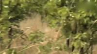英雄水牛攻击狮子,拯救了垂死的同伴!母狮被撞飞