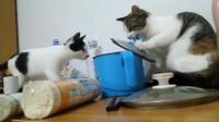 都说动物不能成精,可是这只猫怎么说,都学会团伙做坏事了!