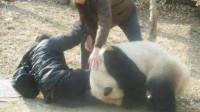 如果大熊猫攻击人类,紧急之下会不会击毙它们?饲养员说出真相