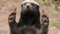 """为什么动物园打死都不养""""平头哥""""蜜獾?真相令人哭笑不得"""