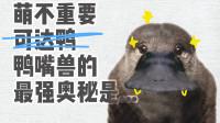 萌不重要,鸭嘴兽的最强奥秘是闭眼打猎
