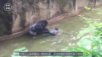 父母疏忽男童掉入猩猩池,大猩猩的动作让人很惊讶,十年也无法忘