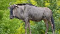 200公斤角马妈妈愤怒还击,非洲猎豹偷袭小角马