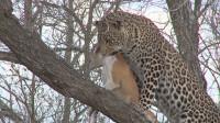 花豹抓到一只狗狗,把狗叼到树上准备进食,结果气炸了