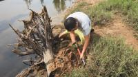 """赶海时碰见一个烂树头,玉平围着挖了一米深,抓到久违的""""蟹王"""""""