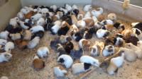 美女把1只公豚鼠和100只母鼠关一起,两周后,整个人都懵了!