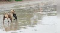 小狗在下水道里有危险,狗妈妈冒雨转移自己孩子,母爱真伟大