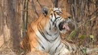 叢林里臥著一只大母老虎,它是這一帶的虎后