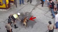 这是有多大仇,斗牛犬将哈士奇摁在街头暴揍,警察用电棍都不顶用