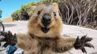只知道澳洲袋鼠和考拉?萌出天际的袋熊了解一下,便便还是方形的