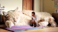 """世界上最大的猫,被称""""温柔的巨人"""",体长接近一米"""