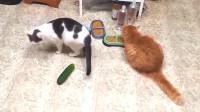 对任何事物都有一颗好奇心的喵星人,唯独对黄瓜为啥这个态度呢?