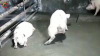 这年头想当个猪都要有才华!