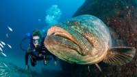 渔民发现巨型石斑鱼,由于太大不敢捕捞,专家:千万别捕捞