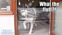 用薄膜制作透明的墙壁,你猜哈士奇是什么反应?一起来见识下!