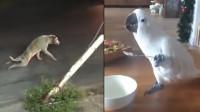 搞笑动物大集锦:鹦鹉:原来用勺子吃饭这么香,网友:成精了!