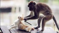 猴子被猫咪扇一巴掌,猴子气的原地蹦高,接下来精彩的画面出现了